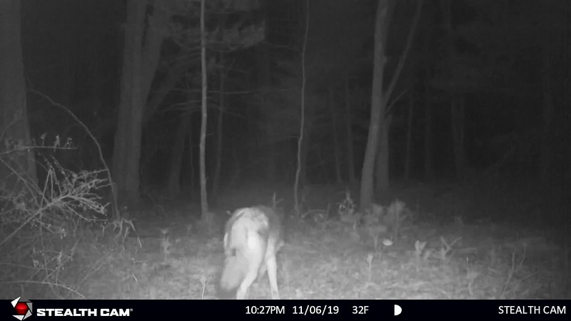 11-6-19 through 11-15-19...coyote, many bucks and does...7-point buck in front of cam, 10-point buck...small 8-pointer and others