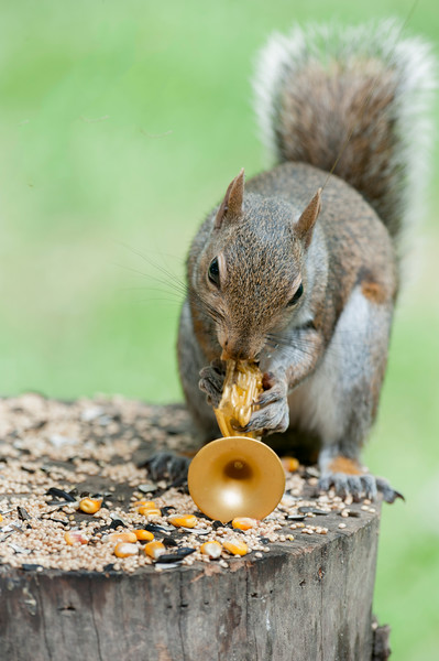 Grey Squirrels tall tail tales playing music
