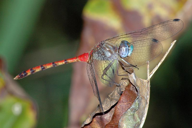 Sympetrum ambiguum (Blue-faced Meadowhawk), GA
