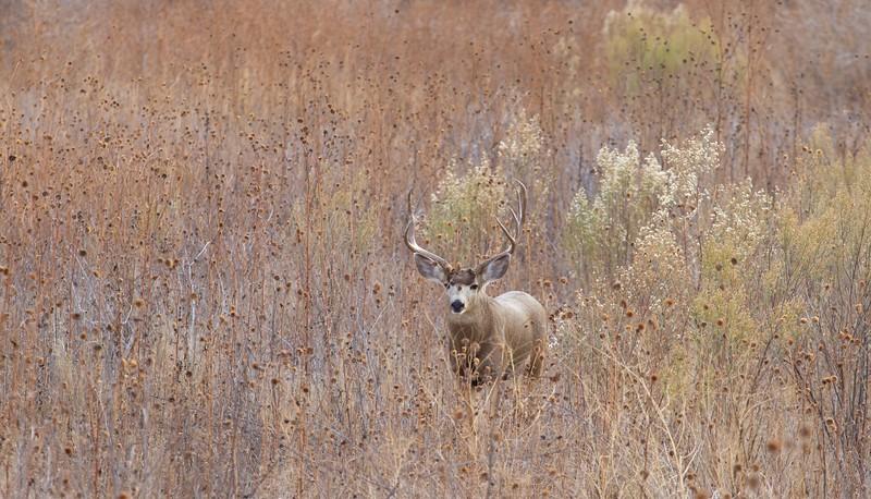 Mule Deer buck Bosque del Apache NWR Socorro NM IMG_0007522.dng.jpg