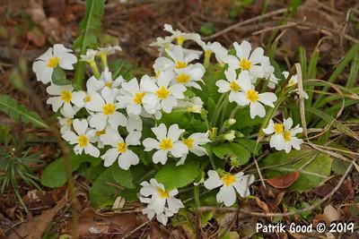 Stängellose Schlüsselblume (Primula vulgaris)