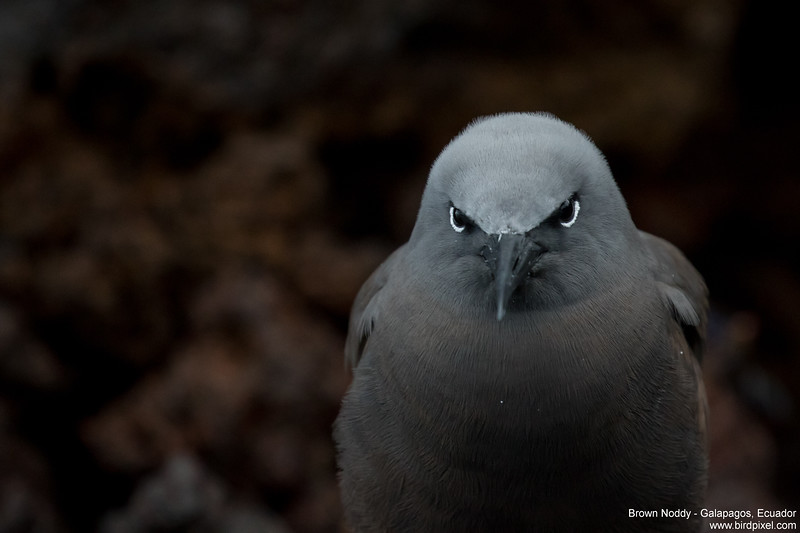 Brown Noddy - Galapagos, Ecuador