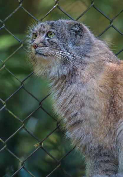 Pallas Cat