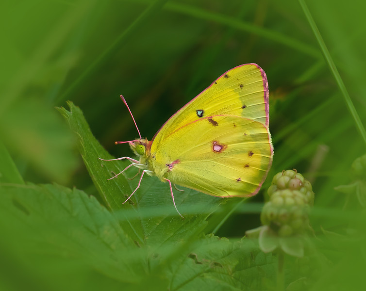 Clouded Sulphur in the Brush