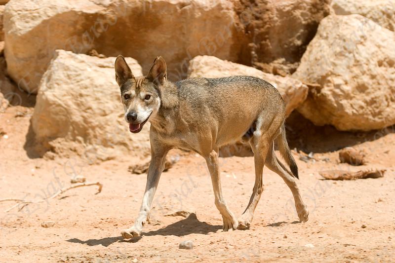 Arabian wolf (Canis lupus arabs)