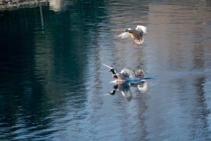 Duck Landing 1-8362.jpg