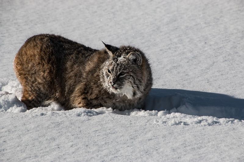 4469-Bobcat-©Yvonne Carter.jpg