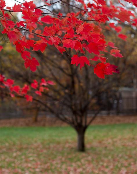20151126-IMG_2352 CP Red Tree 11x14.jpg