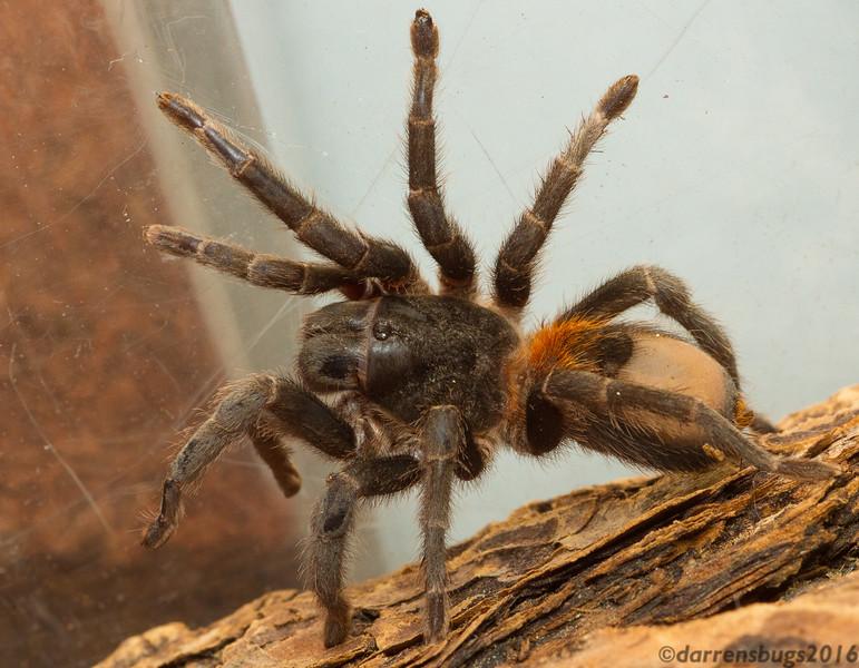 Chilean Flame Tarantula, genus Euathlus.
