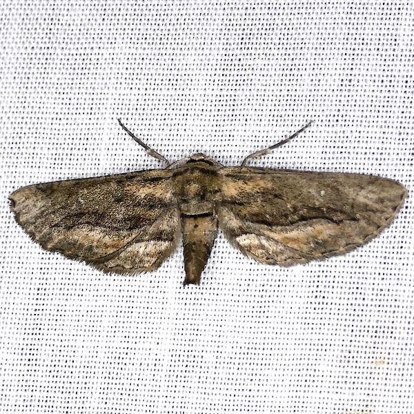 H06773  P184HolochroaDissociariusVaria462 Sep. 19, 2019  7:12 a.m.  P1840462 Here is a pretty Holochroa dissociarius varia at LBJ WC.  Geometrid.