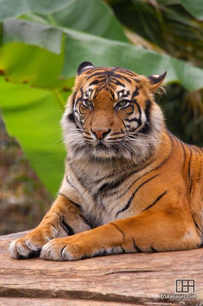 Female Sumatran Tiger at the Adelaide Zoo