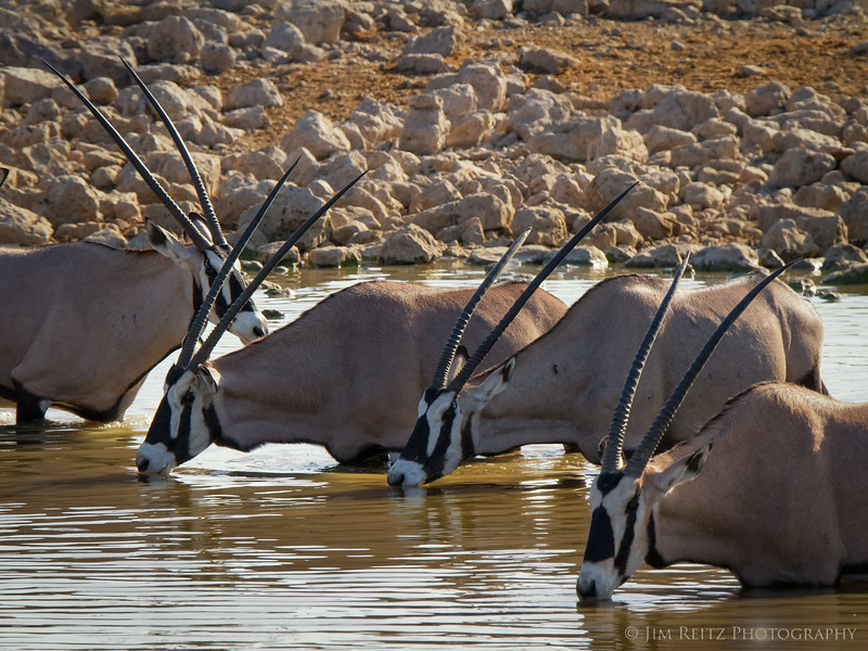 Oryx at the water hole - Etosha National Park, Namibia.