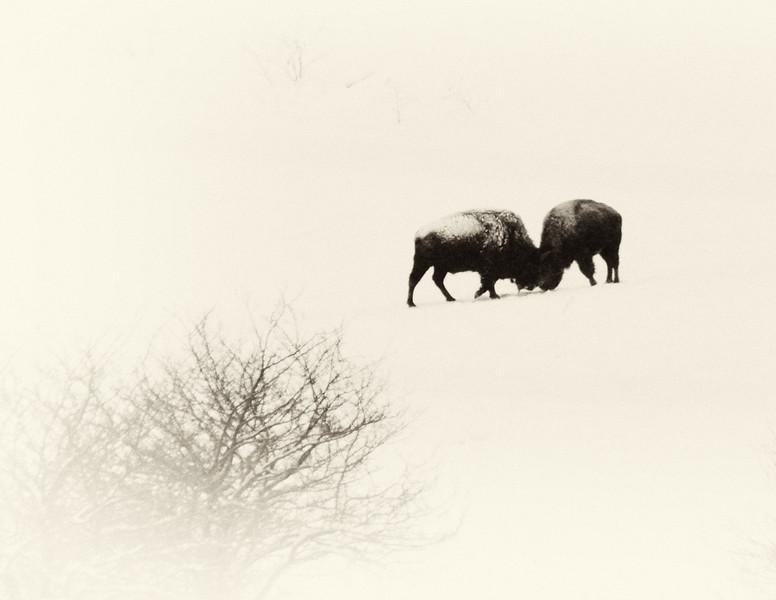 Buffalo-11.jpg