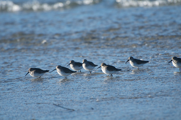 Dunlin Party