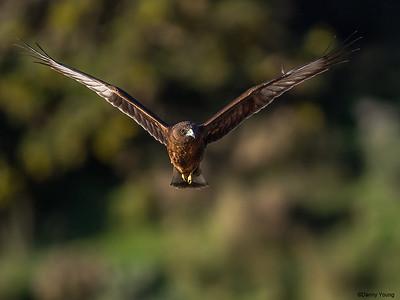 Hawks-Harriers