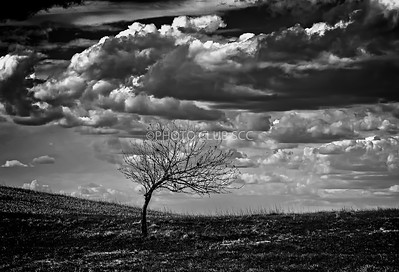 DIGITAL-MONO-MASTER-GOLD-LEANING TREE-CAROL FELDHAUSER