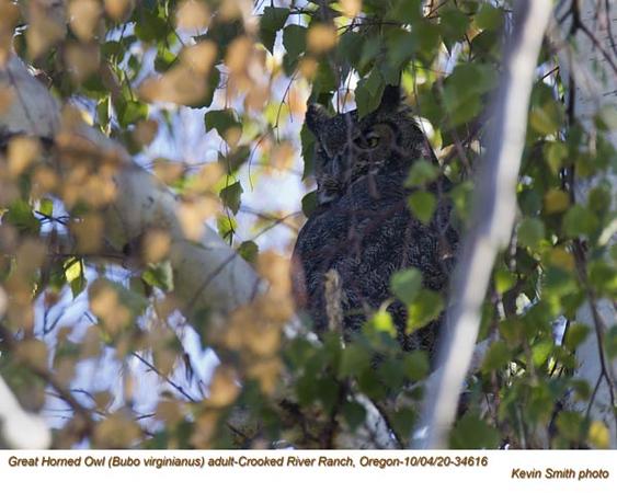 Great Horned Owl A34616.jpg