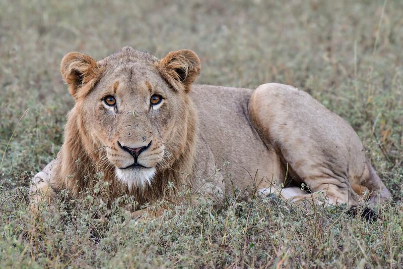Curios young lion