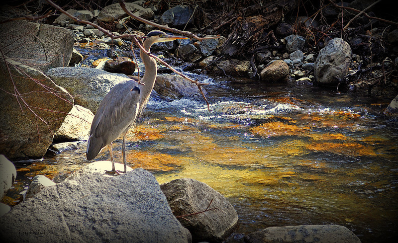 Heron 2-8-2013.jpg