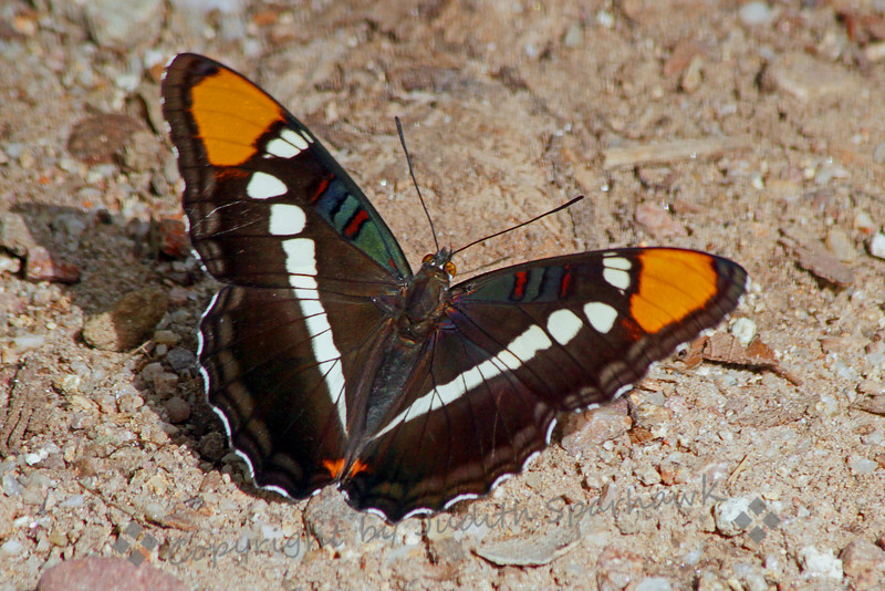 Arizona Sister ~ This beautiful butterfly, when seen close up, has several colors and markings in the upper wings, that just appear dark brown when it flies by.  It was photographed in Miller Canyon, in the Huachuca Mountains in southeast Arizona.