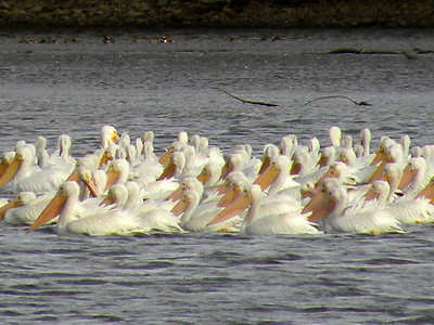 SIGHTING DETAILS OF WHITE PELICANS (Fall Migration 2017)