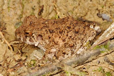 Frogs - Ecuador - Non-Hylids
