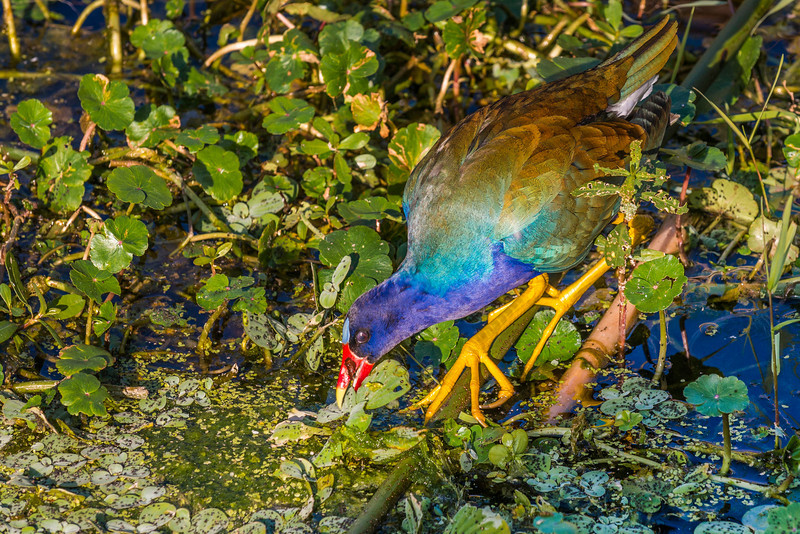 Purple Gallinule Green Cay Wetlands Boynton Beach, Florida © 2014
