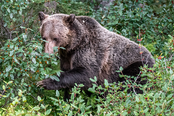 8-31-20 Grizzly Bears