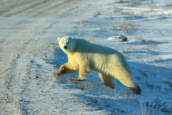 Polar Bears of Churchill, Manitoba, Canada