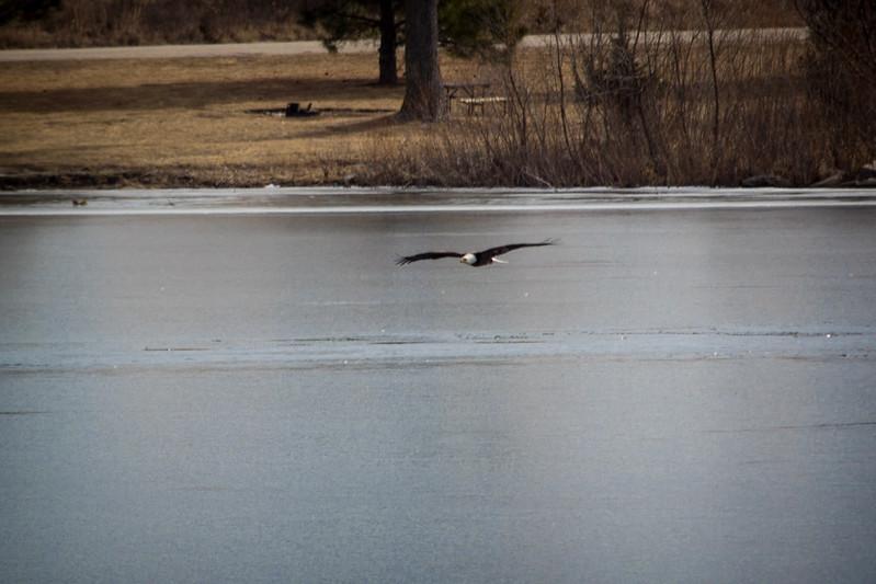 Eagle Soaring lake-7128.jpg