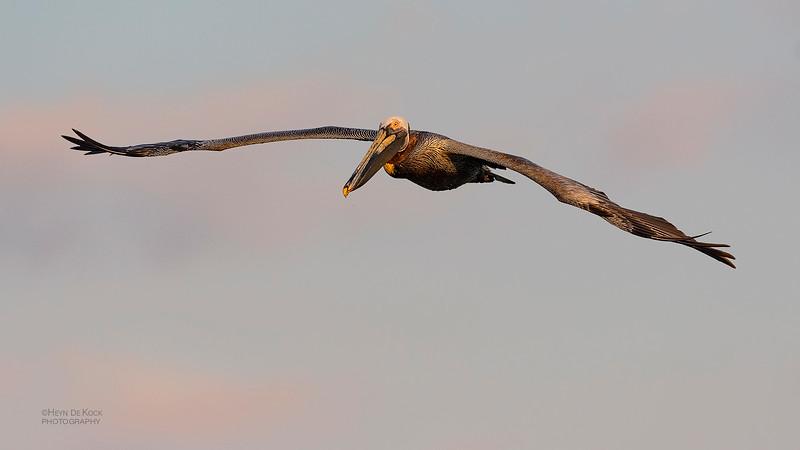 Brown Pelican, Fort De Soto, St Petersburg, FL, USA, May 2018-6.jpg