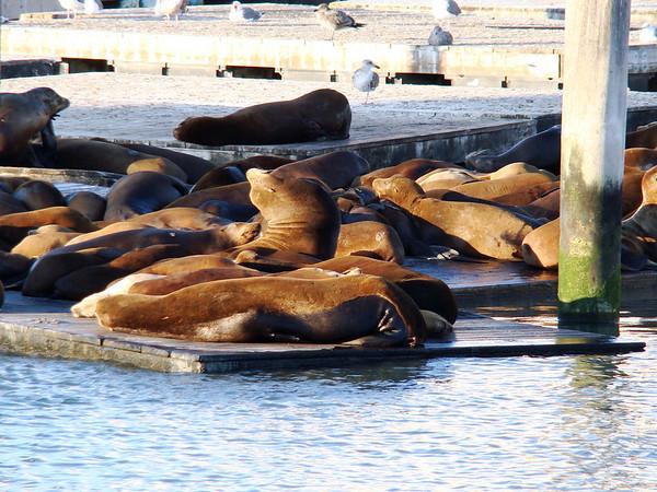 Seals at Pier 39 in San Francisco, CA