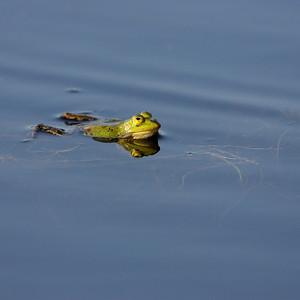 2011-04-25 Kampina-  the frogs