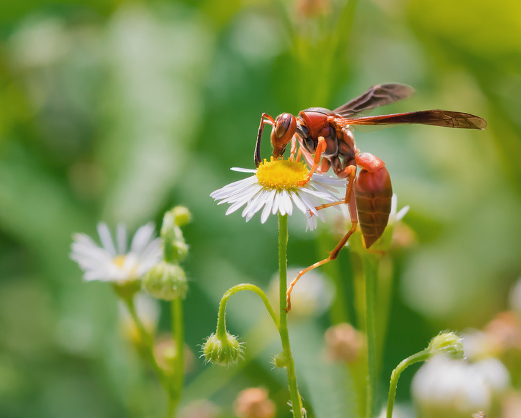 Red Paper Wasp on Fleabane