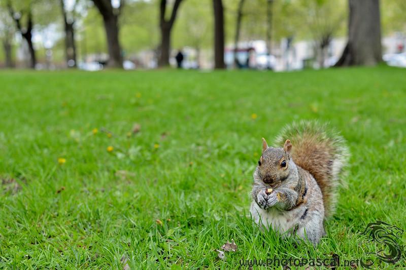 Écureuil au parc La Fontaine
