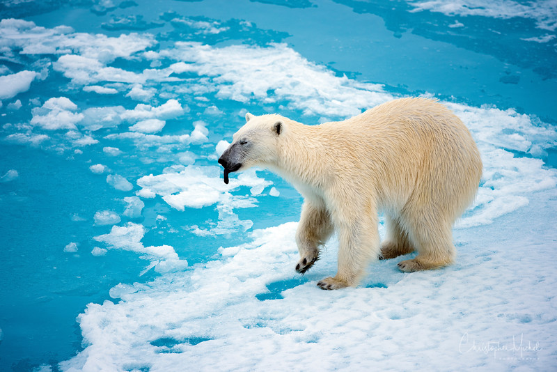 150630_Polar Bear at Ship_9689 copy.jpg