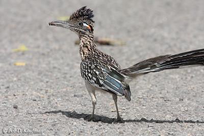 Cuculidae - Cuckoos, Malkohas