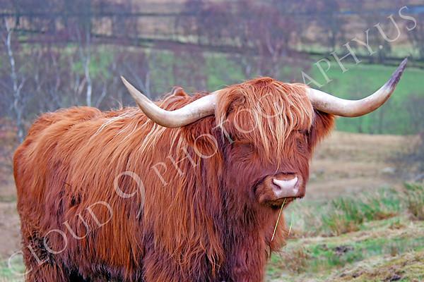 Highland Cow Wildlife Photography