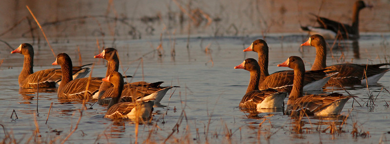 Greater White Fronted Geese, Colusa WLR
