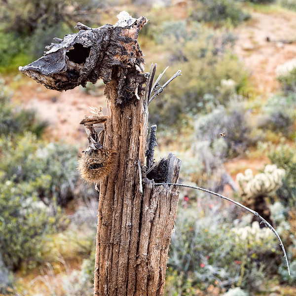 An insect flys towards the remnants of a dead saguaro.