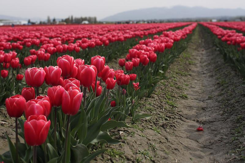 Tulips-2010 21.JPG