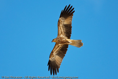 Majestic Birds of Prey & other Feathered Friends; Noosa National Park & Caloundra. Photos by Des Thureson.