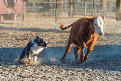 AM Cattle