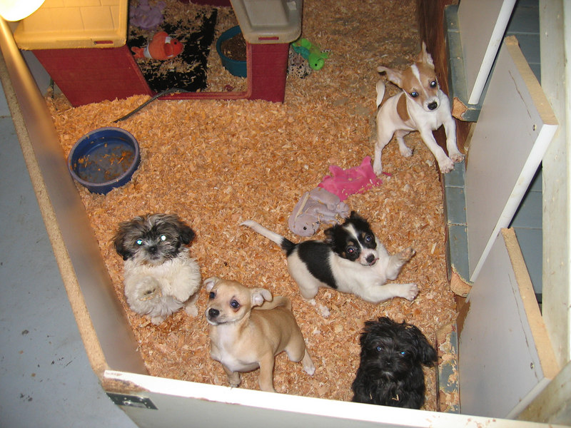 """@ the puppy place. she's the little black one. these are the other dogs that have been selected, there's three more pens of """"available"""" doggies."""