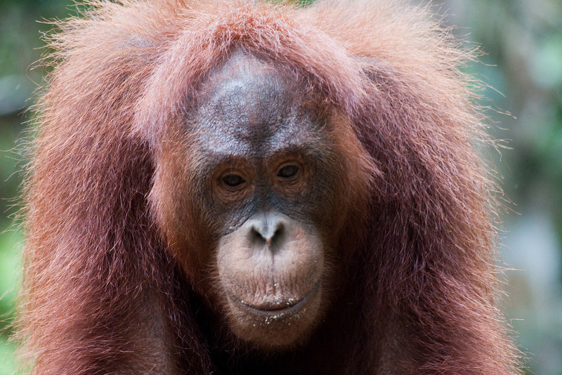 Semenggoh Wildlife Rehabilitation Centre