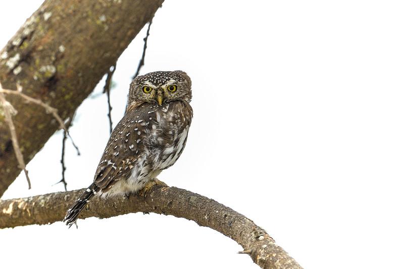 Pearl-spotted-owlet-Ndutu-Serengeti-1-4.jpg
