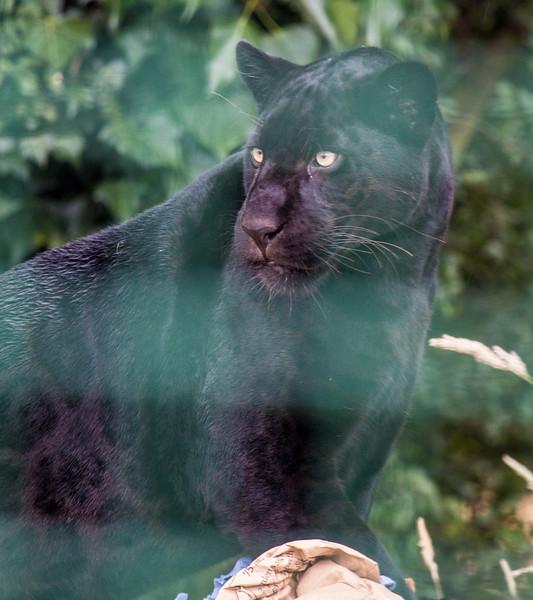 Jaguar / Panther (Maya)