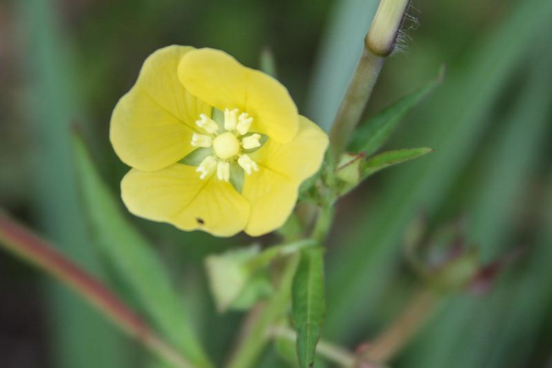 Ludwegia octovalvis - Shrubby Water-Primrose