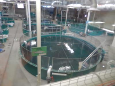 Ship Creek - Salmon run