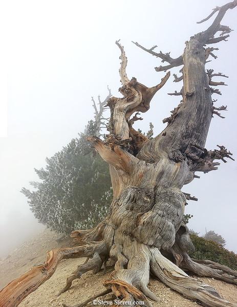 Mt Baden Powelll Limber Pine Fog Frost.jpg